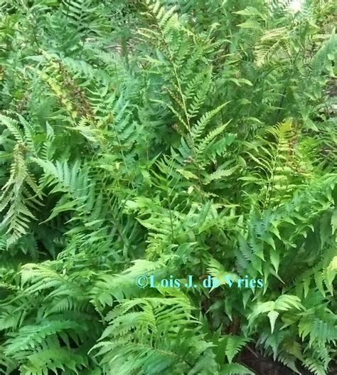 four ferns to foil deer in the garden