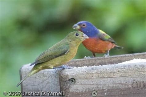 florida backyard birds painted bunting guide to central florida birds