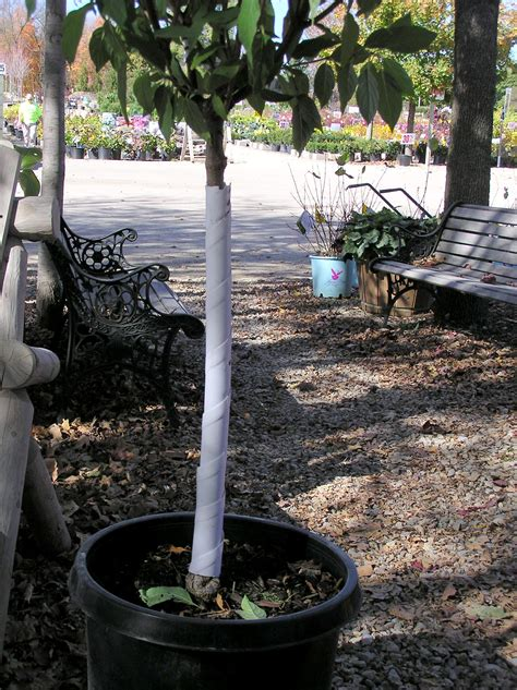 winter tree wrap wrap your new trees for winter protection knecht s nurseries landscaping