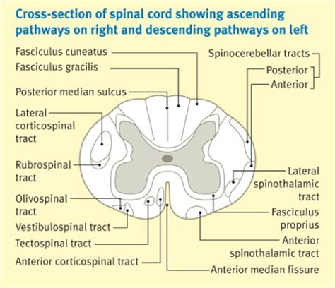 cross section of spinal cord tracts major ascending and descending tracts in the spinal cord
