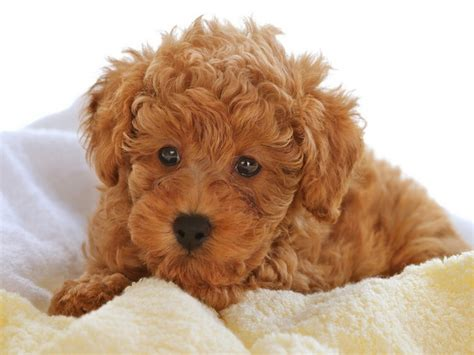 poodles puppies puppy pictures breeds