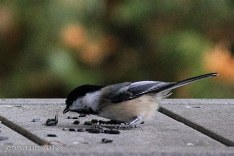 bird eating seeds flickr photo sharing