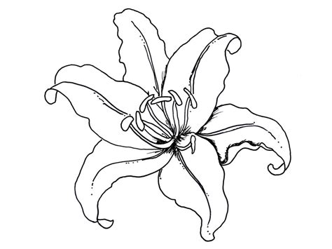 coloring pictures of lily flowers beautiful lily flower coloring pages decoloring