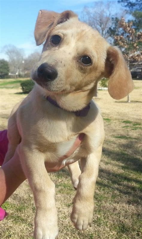 lab chihuahua mix puppies and yellow lab chihuahua mix boys are approx 4 months will be around