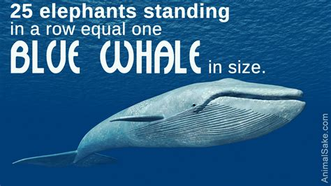 Big Size Blue can you guess the size of the blue whale