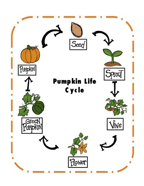 life cycle of a pumpkin coloring page preschool printables pumpkin life cycle printable
