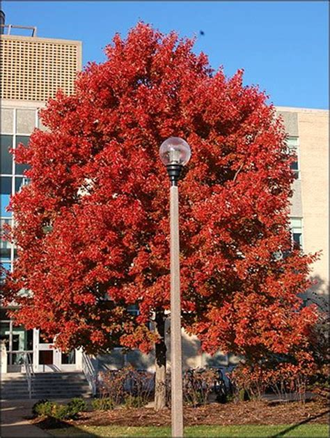 missouri maple trees maple trees are more susceptible to borer insects