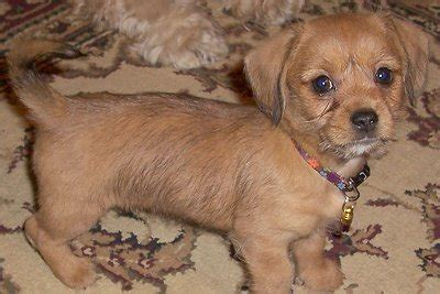 shih tzu and dachshund schweenie dachshund shih tzu mix info puppies temperament pictures