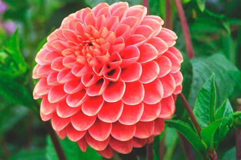 la flor de dalia laberinto la flor de dalia laberinto 191 donde vive la dalia
