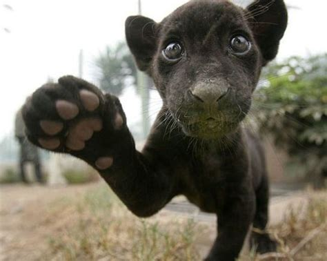 all black jaguar panther cub big cats all black pinterest