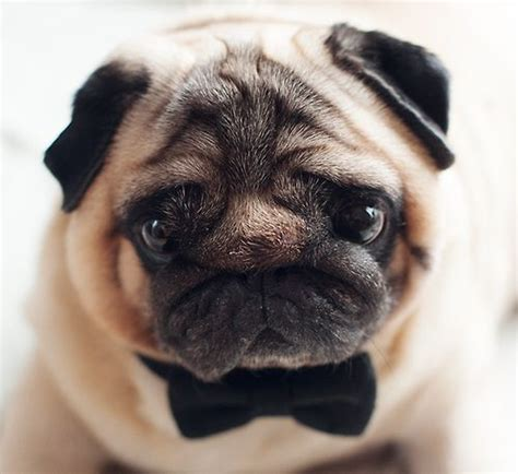 pug tie pug in a bow tie doggies