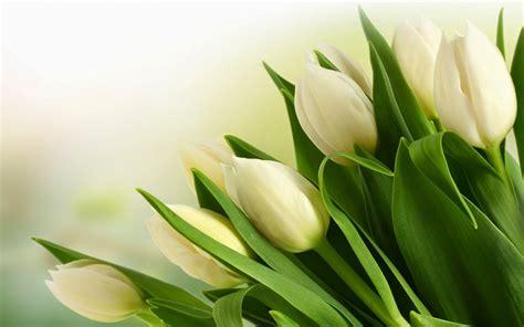 wallpaper bunga dan kupu2 9 wallpaper tulip putih deloiz wallpaper