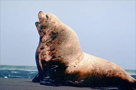 The Bull From The Sea sea bull animals aquatic sea lion sea lion bull