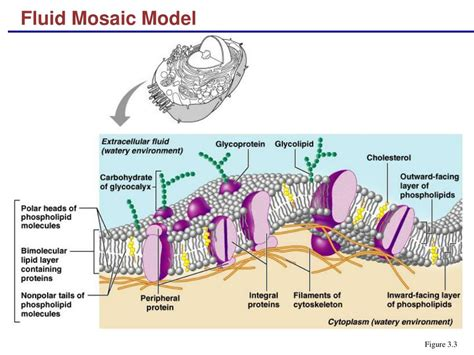 diagram of the fluid mosaic model ppt fluid mosaic model powerpoint presentation id 315477