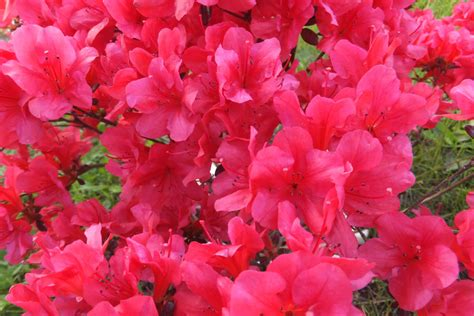 wann schneidet rhododendron rhododendron schneiden 3 schnitte f 252 r den bl 252 tenstrauch