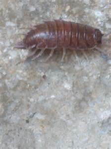 c est quoi cet insecte j en ai 50 dans la salle de bain