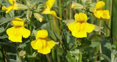 mimulus fiore di bach mimulus i fiori di bach coltivazione e usi