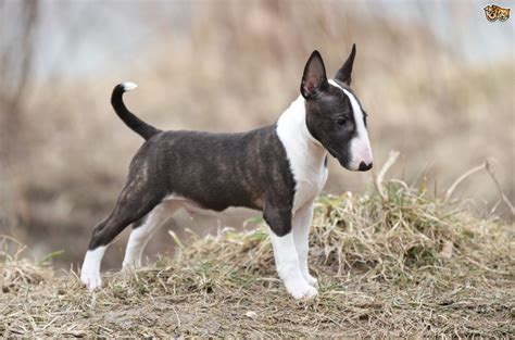bull terrier images bull terrier breed information buying advice