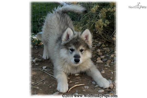 wolf puppies for sale in california california wolves wolf dogs hybrids puppies for sale in html autos weblog