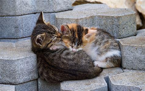 wallpaper cats  animals