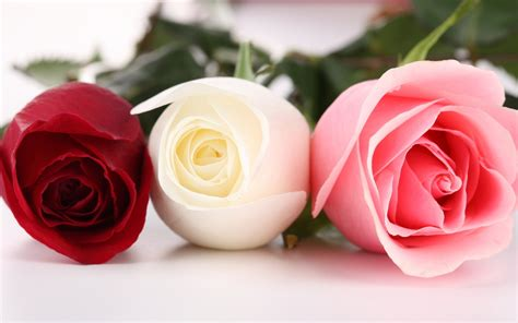 different colors of roses wallpaper three different colors of roses 1920x1200 hd