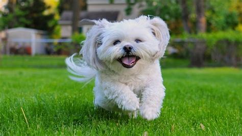average size of a shih tzu what is the average size of a shih tzu reference