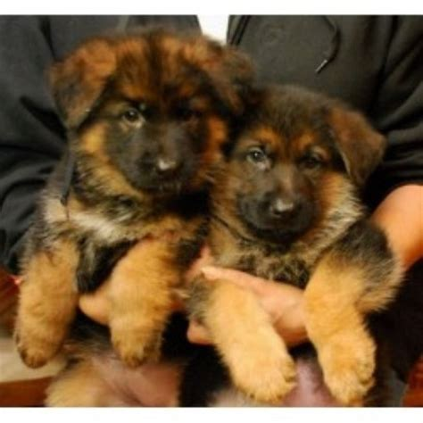 free dogs in ct mountain river rock german shepherds german shepherd breeder in storrs mansfield