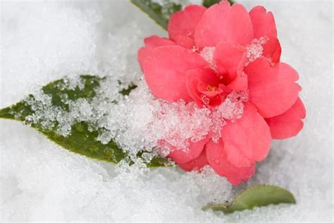 flowers that bloom in winter winter blooming camellias