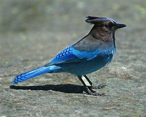 birds steller s jay