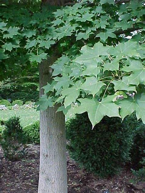 missouri maple trees trees for oklahoma gardens