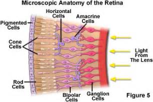 receptor cells in the retina responsible for color vision are kenowapsychology how the eye works