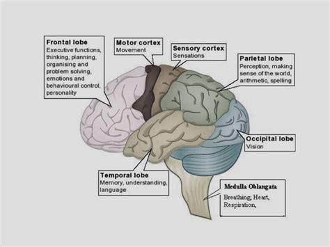 brain tumor diagram gliomas osuccc