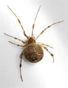 parasteatoda tepidariorum common house spider