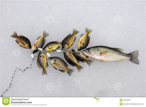 String Fish - stringer of fish royalty free stock image image 12095786