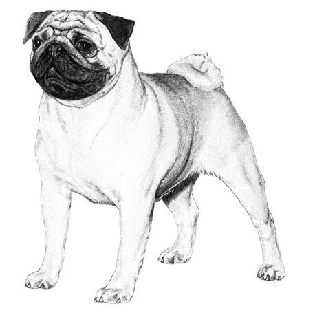 how to breed a pug 1000 images about hond on chihuahuas pencil drawings and drawings