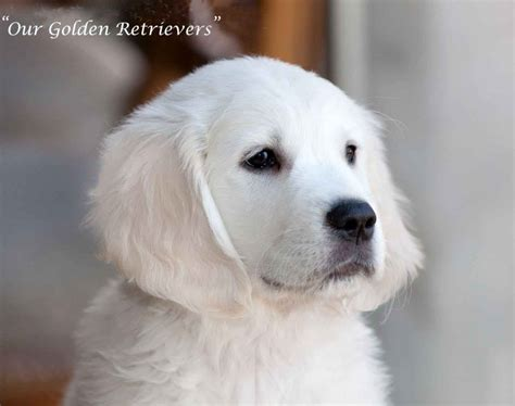 golden retriever to adopt 2017 appealing golden retriever white rescue near me pictures images wallpapers