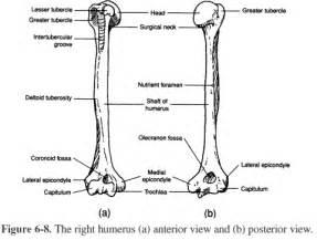 Main Skeletal Landmarks Of The Humerus Click To Enlarge Image  sketch template