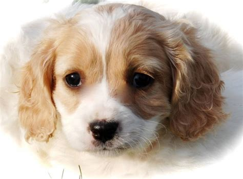 Do Cavalier King Charles Spaniels Shed cavachon calalier king charles x bichon f non shed and