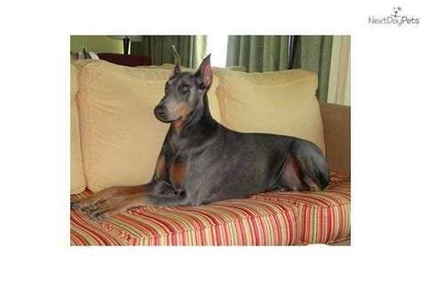 doberman puppies for sale in wv doberman pinscher puppy for sale near southern wv west virginia 2b221b83 9d71