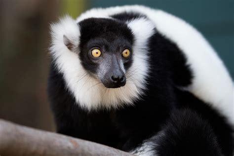 black and white black and white ruffed lemur zoo atlanta