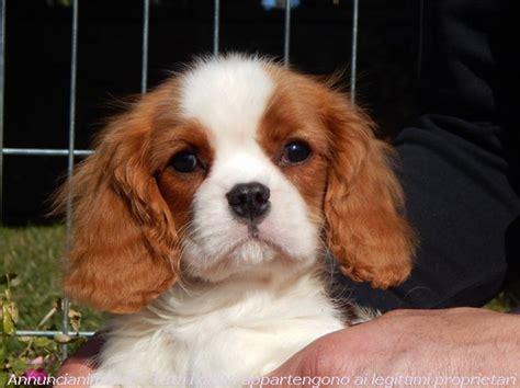 golden cocker retriever kijiji vendita cani taglia piccola cavalier king bianco arancio quotes