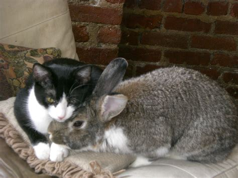 and cat cuddling file cat and rabbit cuddling jpg wikimedia commons