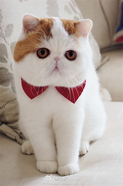 exotic shorthair history personality appearance health