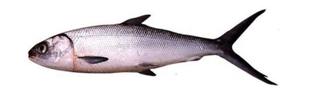 mengenal ikan bandeng quot tani nelayanku quot