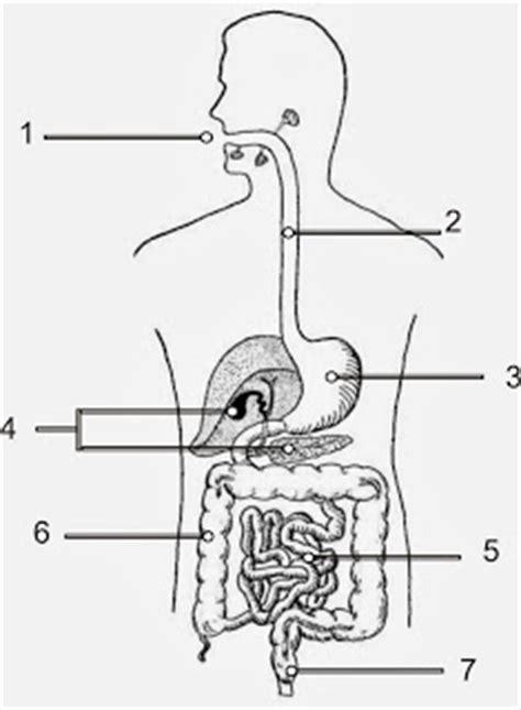 imagenes del sistema digestivo dibujo magazine 57 dibujo del aparato digestivo