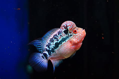 Pakan Ikan Louhan Kamfa flowerhorn the hybrid cichlids kamfa thailand
