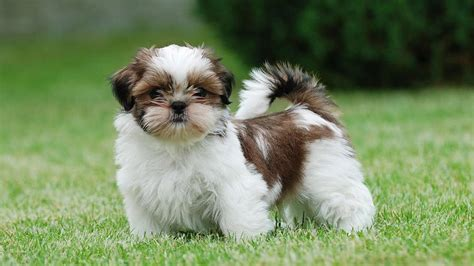 barking shih tzu 15 breeds that don t shed much barking royalty