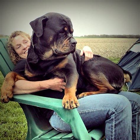 how big do rottweiler dogs get no matter how big they get they still think they are dogs animals