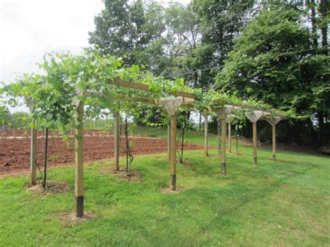 Grape Trellis Muscadine Type Grape Arbor Complete With Spigots At