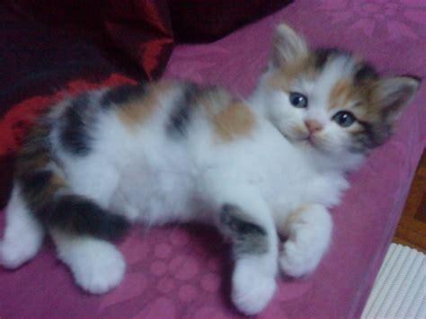 Untuk Kucing Catlover 5 Anak Kucing Untuk Dijual